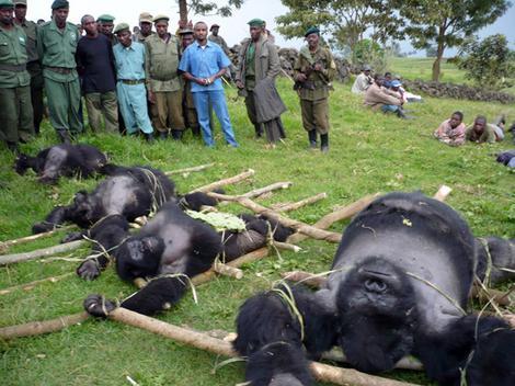 Gorilas muertos